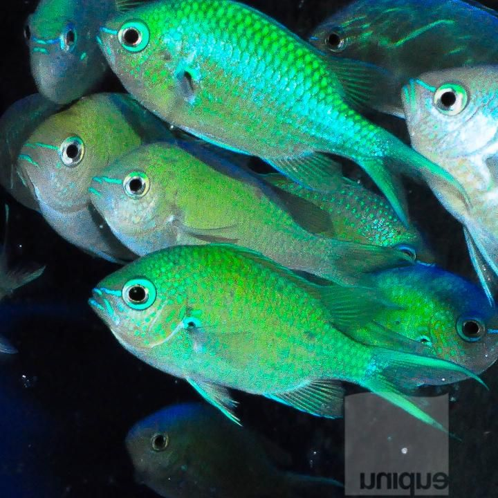 Chromis Viridis Blue Green Reef Chromis Net Caught Approx 1 With Images Blue Green Fish Pet Green