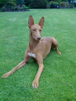 Pharaoh Hound.  I think the sight hound breeds are the most beautiful of all the dog breeds.