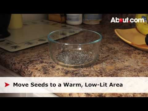 Chia seeds are a delicious and healthy addition to a diet that can be grown easily in your own kitchen. Learn how to sprout chia seeds with the step-by-step guide in this how-to video.