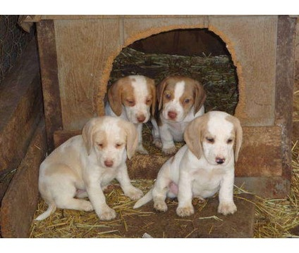 Lemon Beagle Pups - I had one of these.