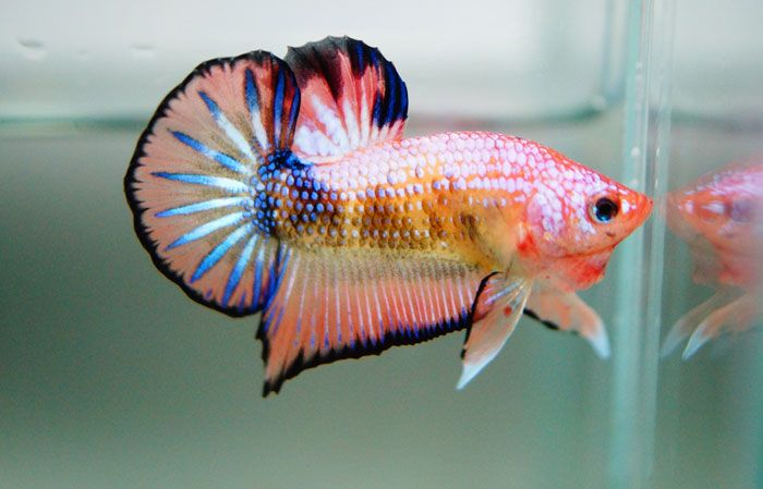 Fancy snow dragon my new fish seurat peces for Dragon scale betta fish