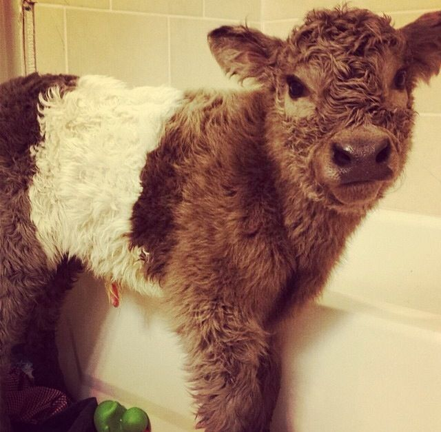 Baby calves are definitely the cutest animals;)