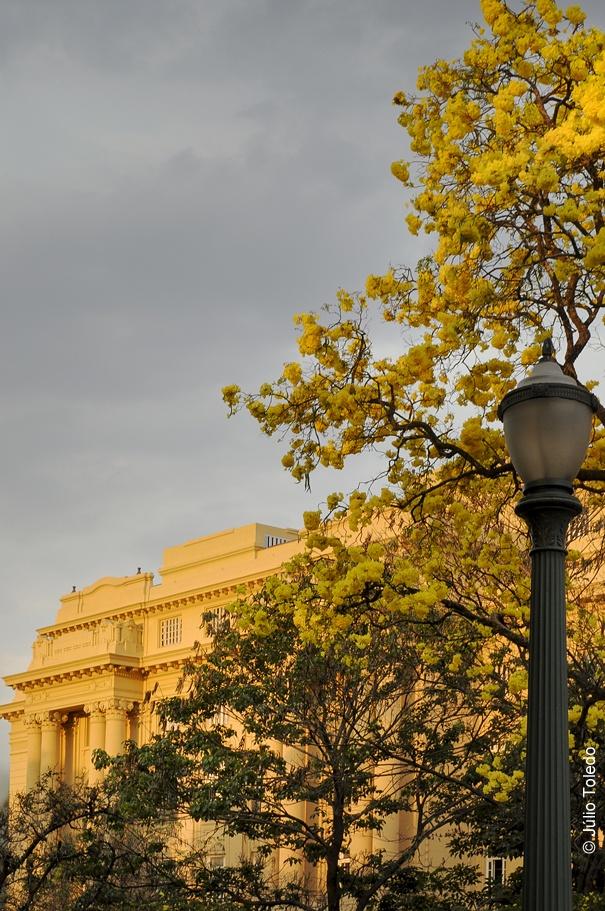 """Ipê-amarelo (Tabebuia alba)  - """"Centro Cultural Banco do Brasil"""", Praça da Liberdade, Funcionários, Belo Horizonte, MG."""