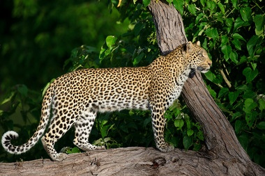 A leopard on the prowl at Chitabe