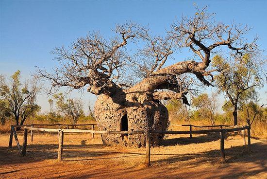 Boab Tree, Australia.