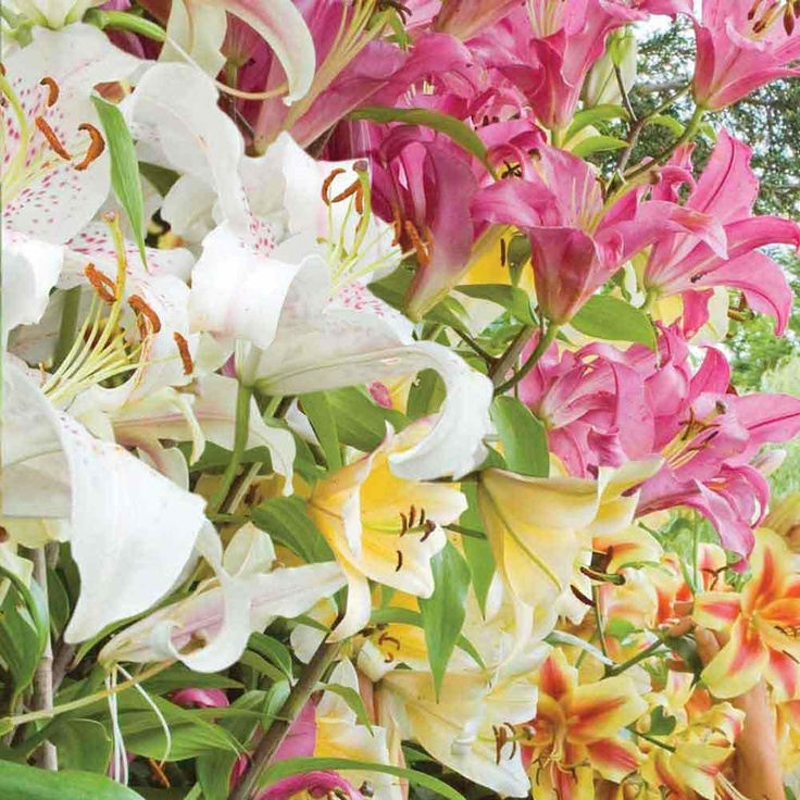 Buy Thompson & Morgan Tree Lilies® Collection |Free UK Delivery (white/yellow please)
