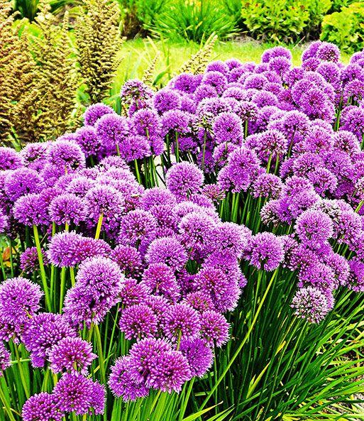 Duft Allium Staude U0027Milleniumu0027