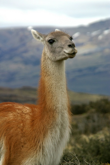 Patagonia encompasses ancient forests, glaciers, lakes, rivers and fjords, and fauna including guanacos (in this picture), flamingos, condors, foxes and pumas. #travel #nature