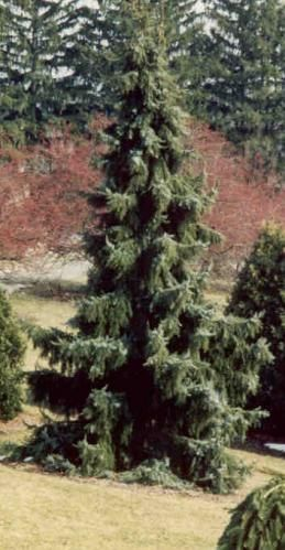 Rich's Foxwillow Pines Nursery, Inc. - Picea omorika – 'Pendula' Weeping Serbian Spruce