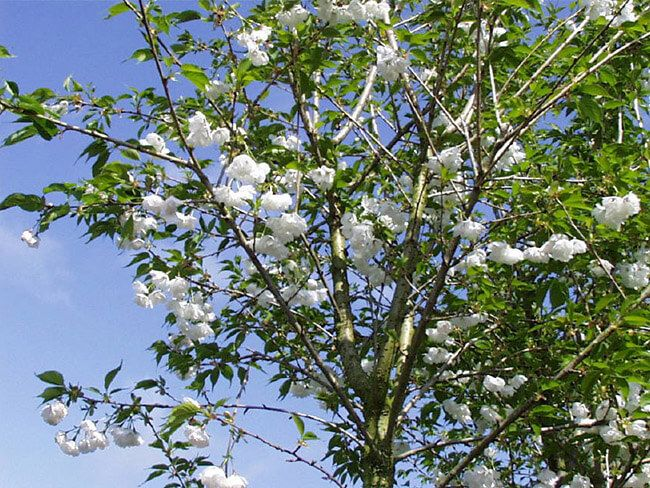 Mt Fuji Cherry Crabapple Tree Big Tree Flowering Trees