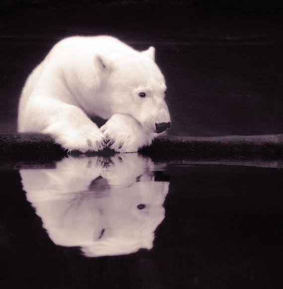 Lonely Polar Bear  8 X 8 fineart photographic print by StoriedEye, $30.00