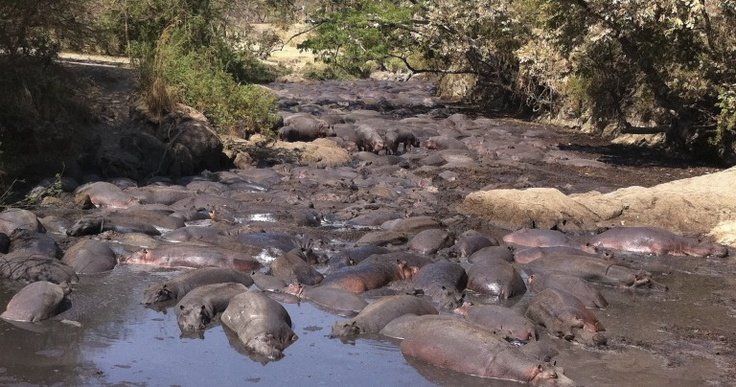 Katavi National Park, far western Tanzania.  It's late in the dry season, water levels are low, and the hippos have squeezed themselves into the few remaining shallow water bodies!