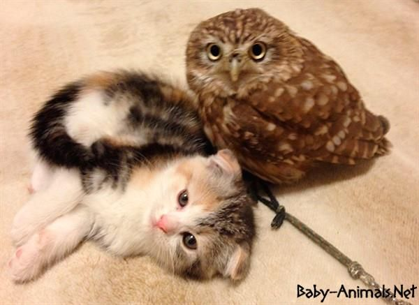 Best Baby Owl Images On Pinterest Baby Animals Baby Owls And - Owlet kitten meet coffee shop become best friends