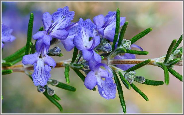 Rozemarijn (Potplant) - Online Vaste planten bestellen