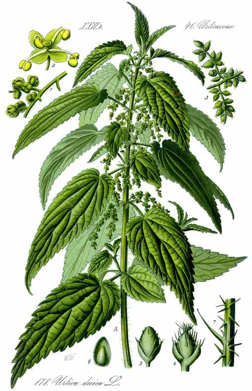 Nettle: For Allergies and MOre