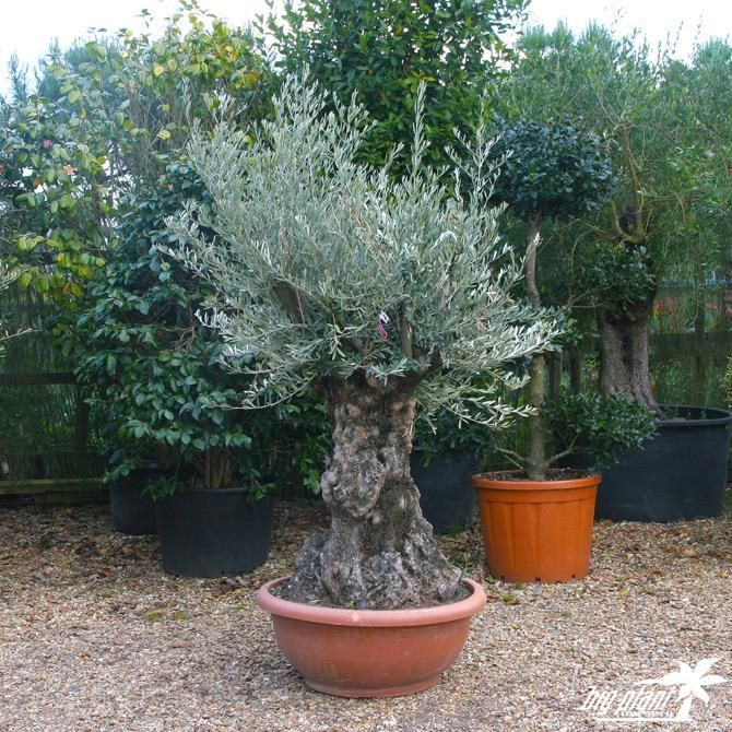 Olea europaea 'Bonsai', Olea europaea,  Olive trees for sale online. The widest range of the olive trees available to buy in the U.K. Selection of olive tr...