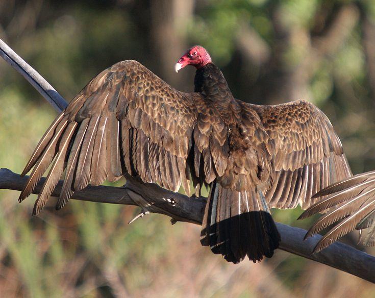 8. La tiñosa: a vulture or condor