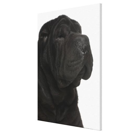 >>>Cheap Price Guarantee          Shar Pei (1 year old) close-up Gallery Wrap Canvas           Shar Pei (1 year old) close-up Gallery Wrap Canvas In our offer link above you will seeDiscount Deals          Shar Pei (1 year old) close-up Gallery Wrap Canvas Online Secure Check out Quick and ...Cleck Hot Deals >>> http://www.zazzle.com/shar_pei_1_year_old_close_up_gallery_wrap_canvas-192770922604243536?rf=238627982471231924&zbar=1&tc=terrest