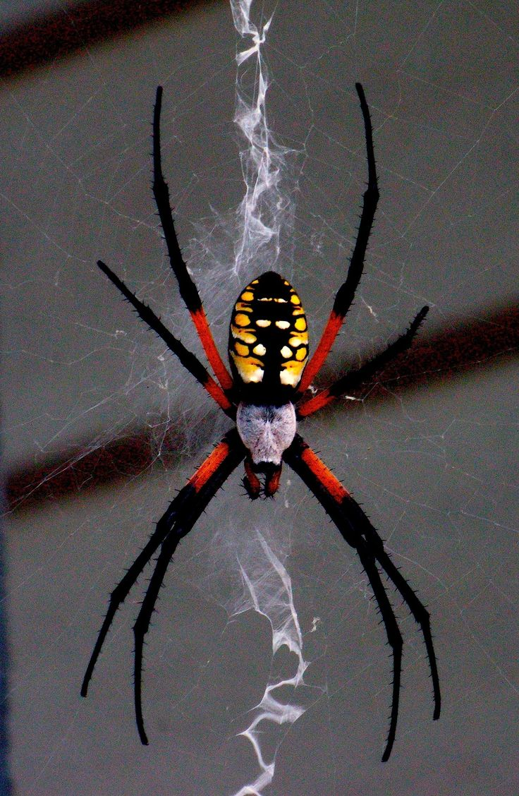 23 best spiders images on pinterest bugs nature and spider webs