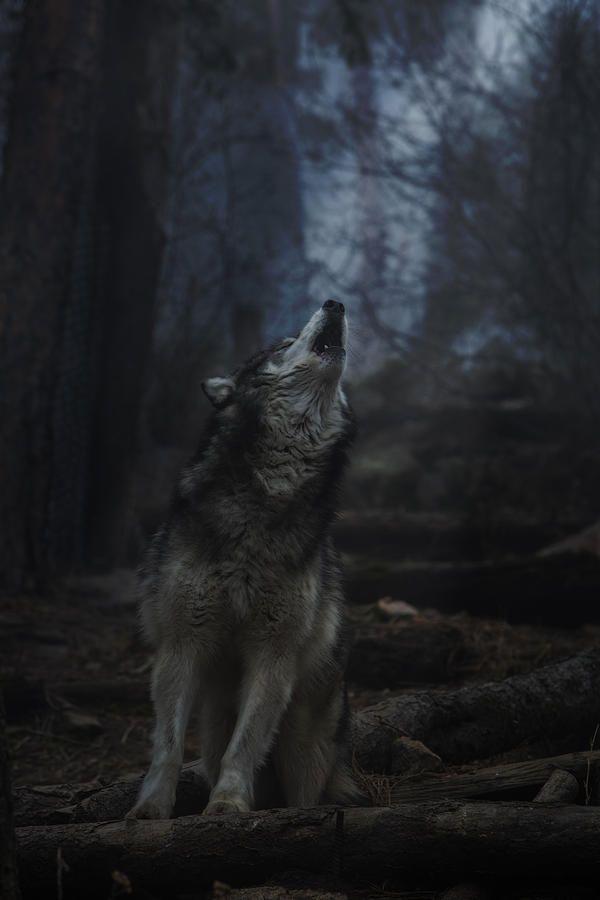 Stop killing Wolves! — ancientdelirium:   (via Howl by Jeff Shumaker)