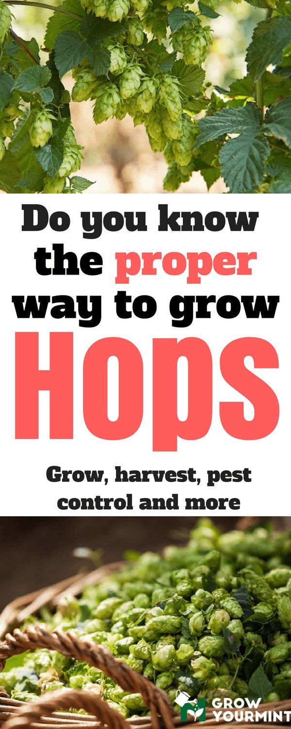 it hit me; why I shouldn't try to grow them myself? Therefore, I will show you how to grow hops in your garden, and to have fun along the way. #garden#gardening#hops#howtogrowhops#growyourmint.com