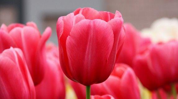 #tulips #gardening #tips #tulipani #tulipano #rosa #rosso #pink #red #field #campo #iloveflowers #flowerpower