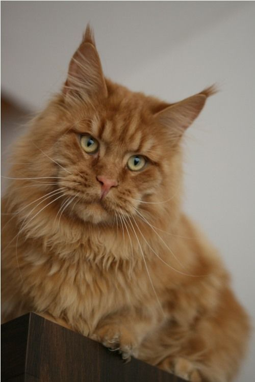 Maine Coon, red solid (d). RESPECTCOON   I ` RUS