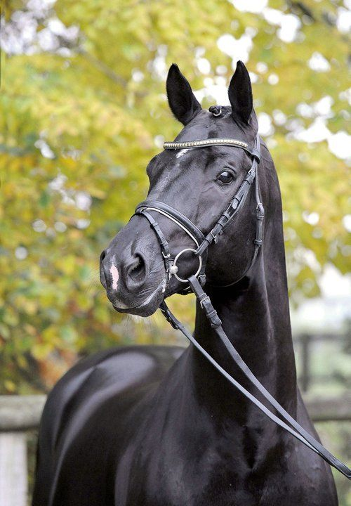 Totilas | one of the most outstanding competitive dressage horses in the world