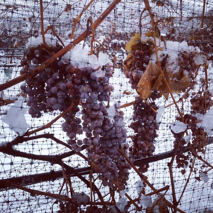 Snow on the grapes at Monte Creek