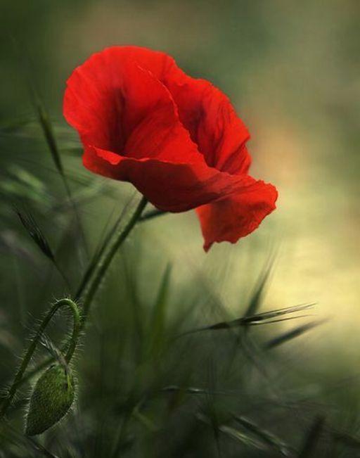 Bir sap gelincik iki taş arasındaBulmuş da boyunu uzatan hızı,Sallanır durur çiçeğiyle rüzgarda;Bütün gelinciklerden daha kırmızı…Metin Altıok
