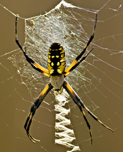 black-and-yellow Argiope, commonly called 'garden spider ...