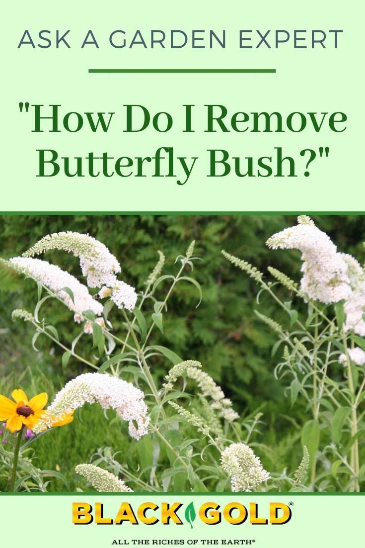 How Do I Remove Butterfly Bush In 2020 Butterfly Bush How To Remove Butterfly