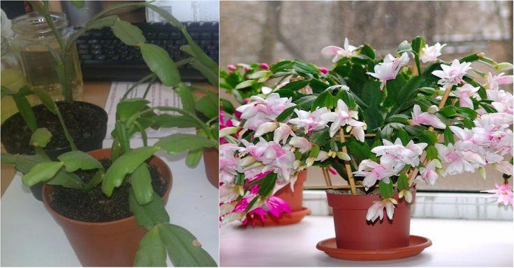 A karácsonyi kaktusz sok virágot hoz, ha jól gondozod! Mutatjuk mit kell tenni vele!