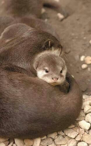 River otter and baby. Wildlife and Nature Pictures. FB