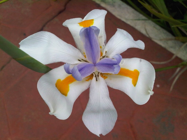 Una orquídea de Uruapan.
