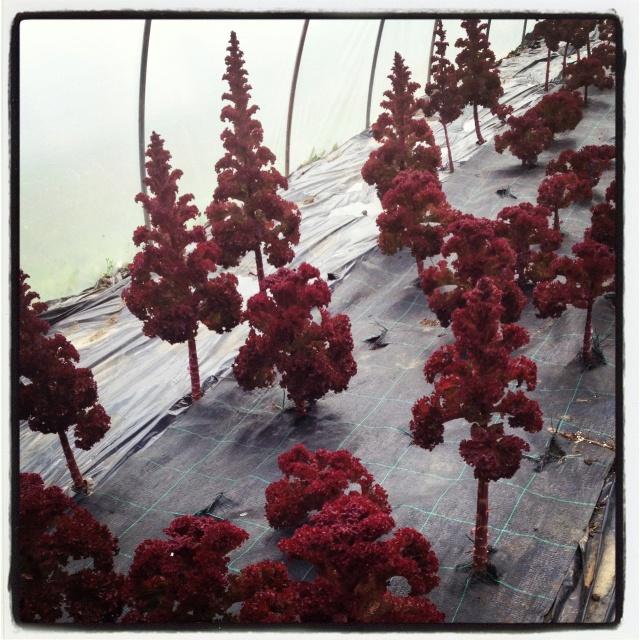 Nein, keine vorzeitigen weihnachtsbäume - so sieht Salat auf dem weg zur Samenreife aus :-)