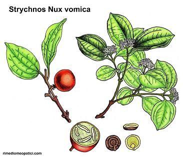 Strychnos-Nux-vomica