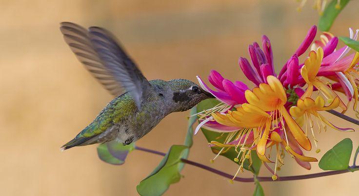 Anna's enjoying honeysuckle flower! Annas Hummingbird (Calypte anna)