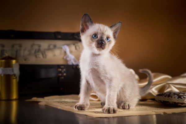Meet The Tonkinese The Perma Kitten With A Heart Of Gold Catster Animal Shelter Volunteer Tonkinese Tonkinese Cat