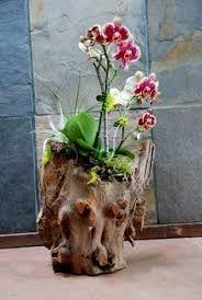 Resultado de imagem para orquídeas cultivo indoor em troncos