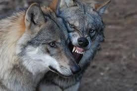 Vlk obecný - výskyt v Beskydech