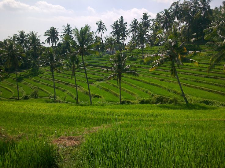Bali, Buleleng - Panji : View at rice field.