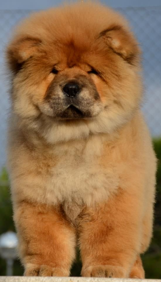 Miss my Chow!!! I would love to get another so my girls could enjoy this dog too like I did when I was little/teenager/young adult! R.I.P