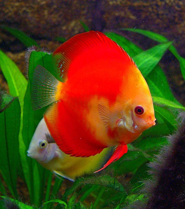 .Golden Melon Fish