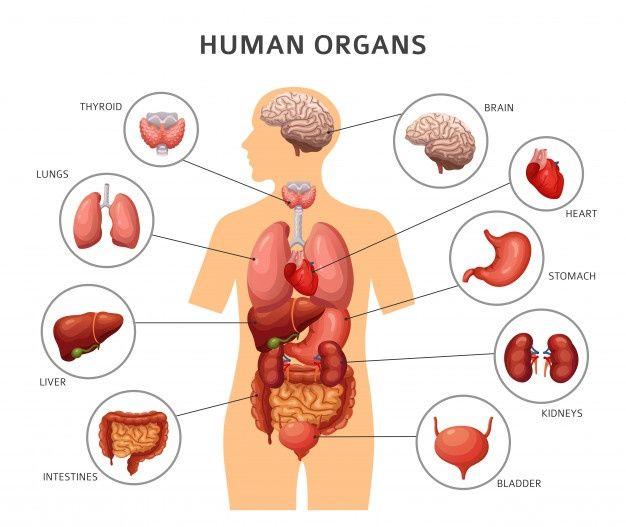 Human Body Internal Organs In 2021 Human Body Organs Body Organs Diagram Body Anatomy Organs