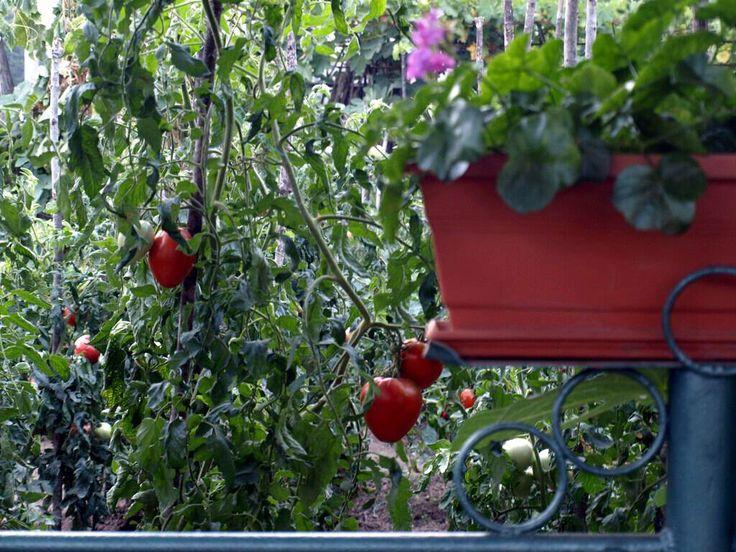 градина домати - Google Търсене