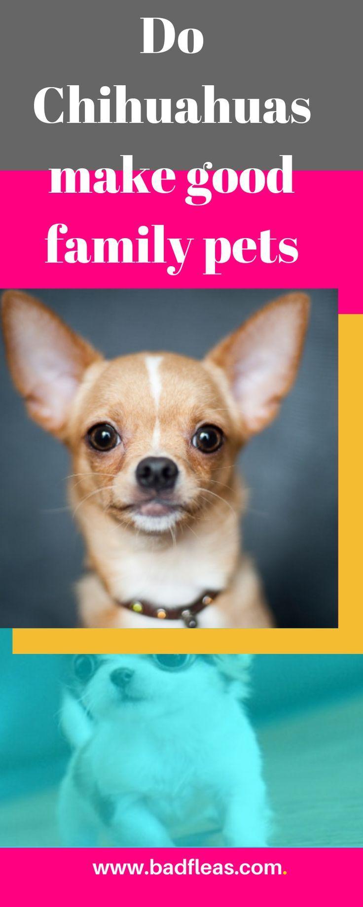 Chiwawa Puppies Do Chihuahuas Make Good Family Pets Chihuahua