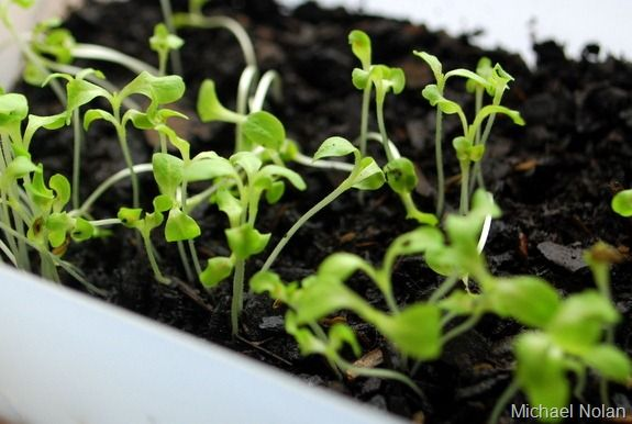 How to Grow Greens Indoors. Let's take a look at how to grow greens indoors. For the sake of this post we are going to focus on fast-growing greens like lettuces, arugula, and spinach. While it is possible to grow kale and other dark leafy greens indoors, it will be an exercise in patience at best. In my experience, kale does not grow well indoors at all – it is slower growing and will end up spindly regardless of how much light and nutrition you give to the plants.