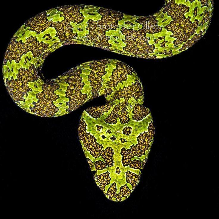 The amazing Mangshan viper (Protobothrops mangshanensis