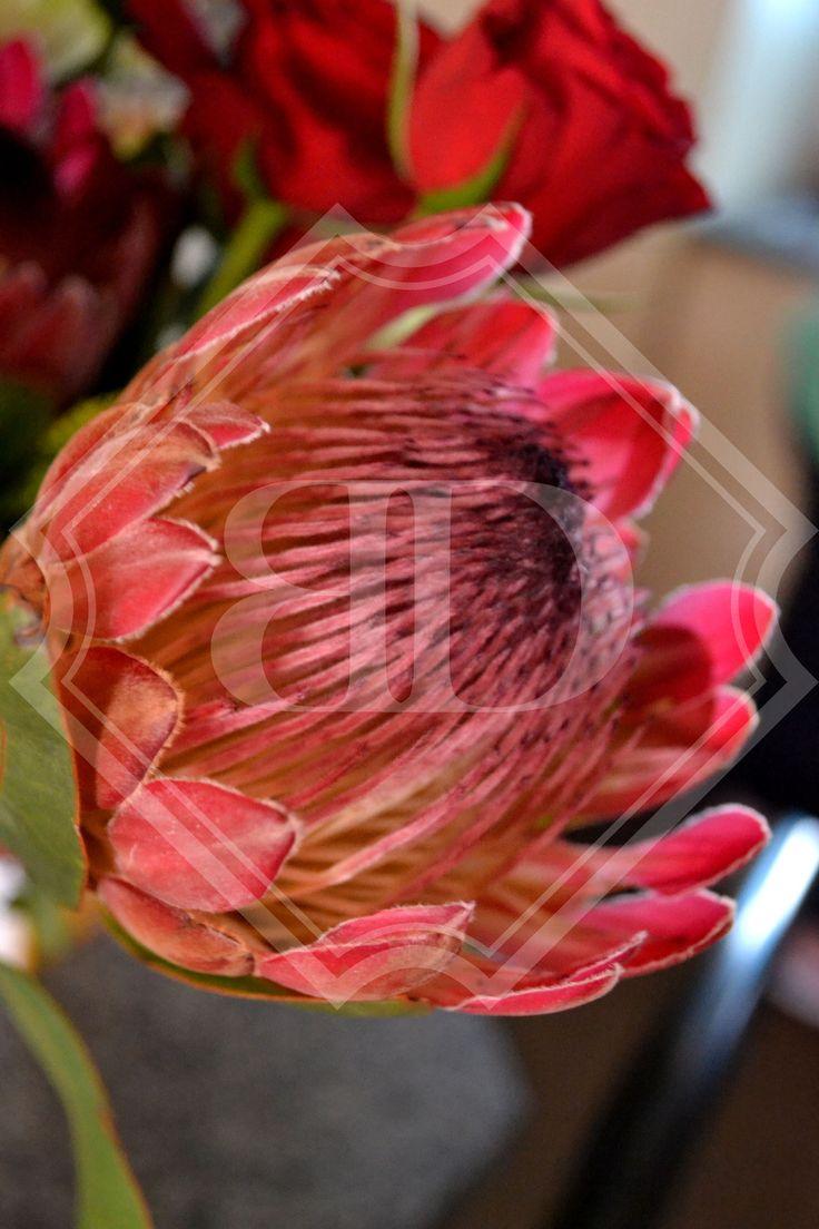 Protea flower_Bianca Duvenhage (photographer).